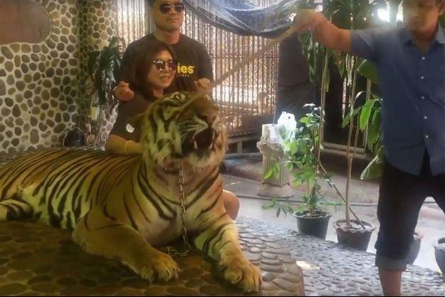 Le tigre frappé au museau pour rugir sur les photos de touristes.