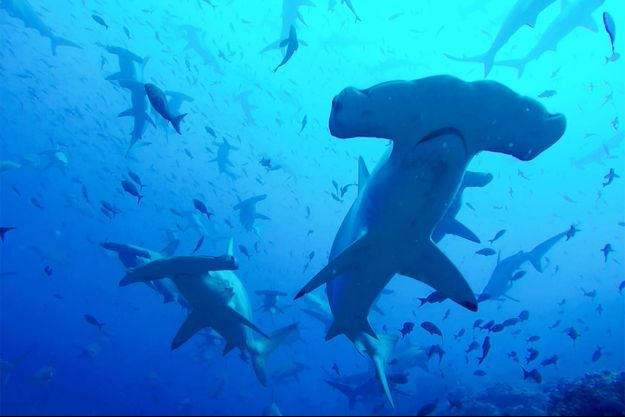 Un requin marteau. Image d'illustration.
