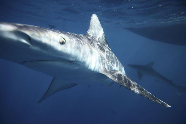 Un requin gris dans les eaux d'Hawaï - photo d'illustration