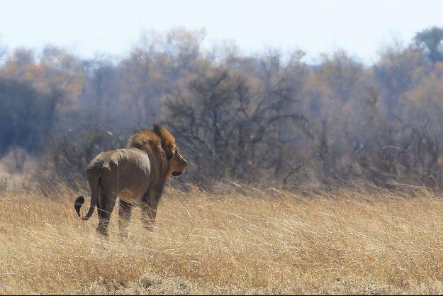 Un lion dans le parc national Hwange, au Zimbabwe (image d'illustration).
