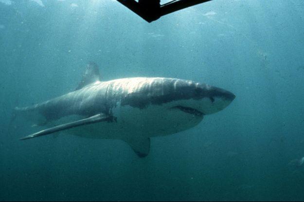 Un grand requin blanc (image d'illustration).