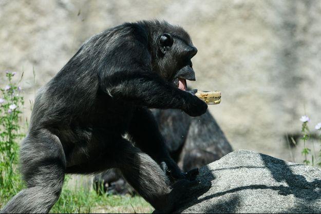 Ici un chimpanzé d'un zoo de Munich.
