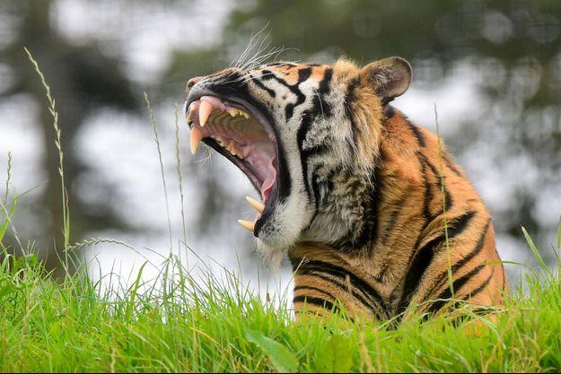 Illustration d'un tigre de Sumatra.