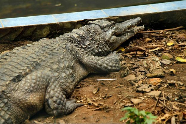 Illustration d'un crocodile.