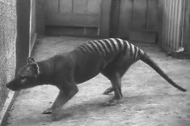 Le dernier diable de Tasmanie vivant en captivité, filmé au zoo de Hobart en Tasmanie.