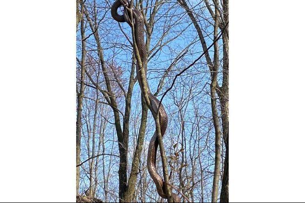 Spectaculaire mais inoffensif, cet énorme serpent a été photographié en plein coeur de la ville de Pittsburgh.