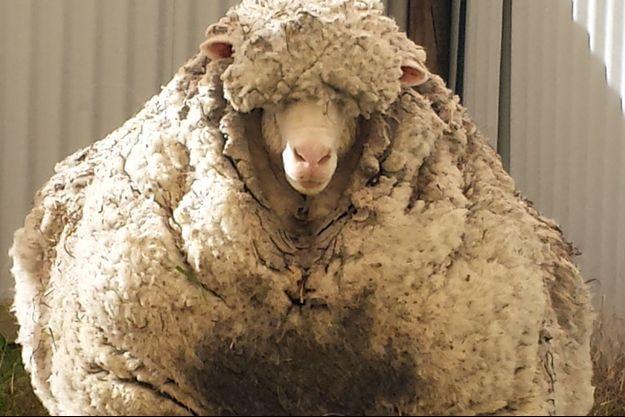 L'animal avait une toison de 41,1 kilogrammes.