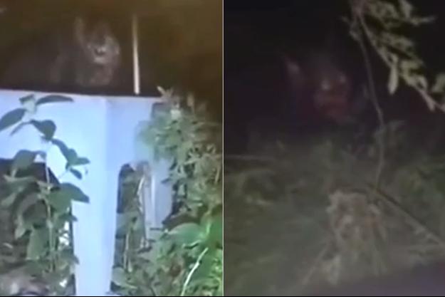 Capture d'écran des vidéos des deux animaux à l'apparence inquiétante filmés au Brésil et en Argentine.