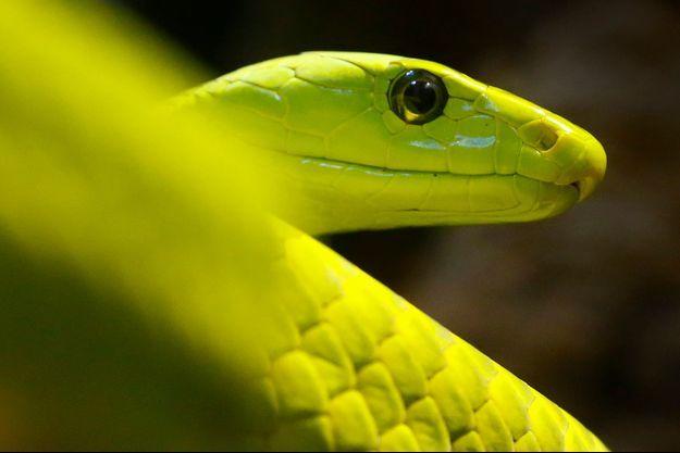 Un mamba vert (photo d'illustration).
