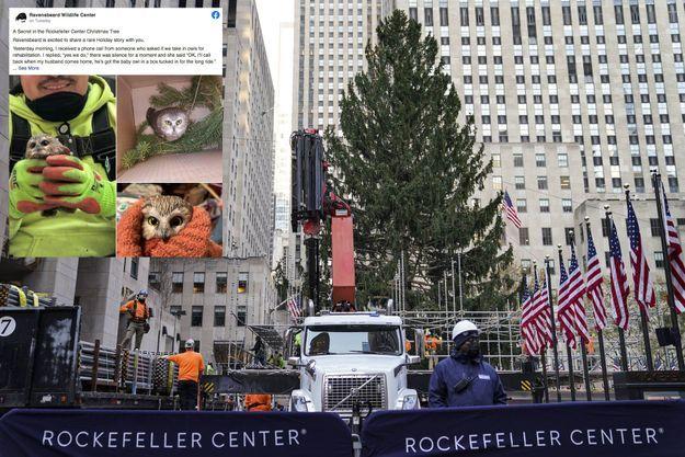 Lundi, lors de l'installation du sapin de Noël du Rockfeller Center. En médaillon, la petite chouette qui y a été découverte.