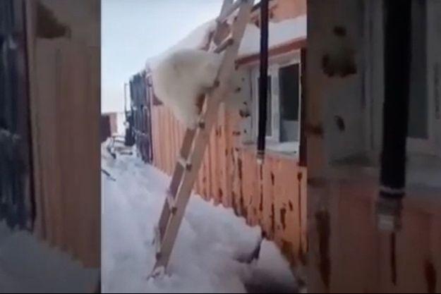 Filmé par les mineurs, l'ours orphelin vient réclamer sa pitance, juché sur une échelle.