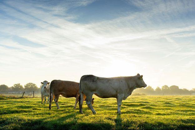 Illustration de trois vaches.