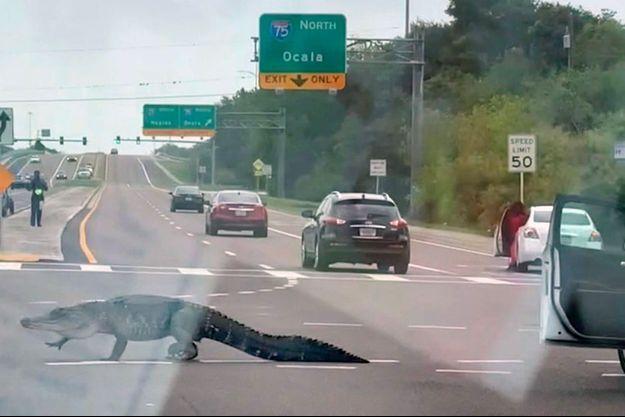 L'alligator sur l'Interstate 75.