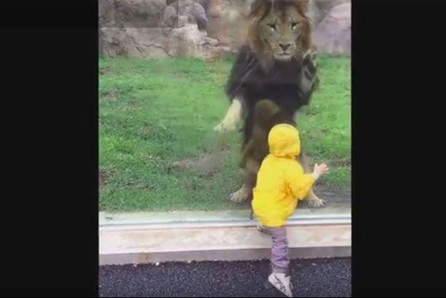 Le lion s'est heurté à la vitre de protection de son enclos lorsqu'il a voulu sauter sur cet enfant.