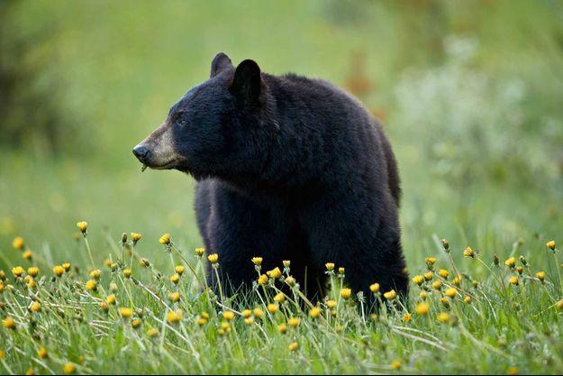Photo d'illustration d'un ours noir.