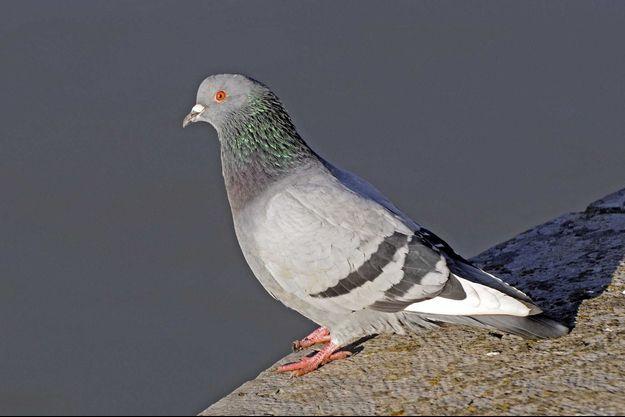 Pigeon (photo d'illustration).