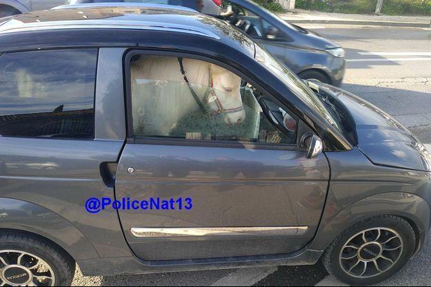 Le poney dans la voiture sans permis.