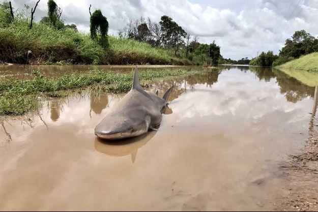 Le requin a été embarqué par les inondations.
