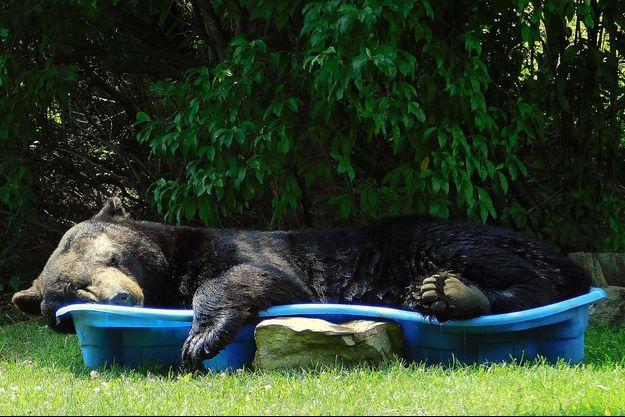 L'ours brun dans la piscine de Mme Keller, à Fort Valley.