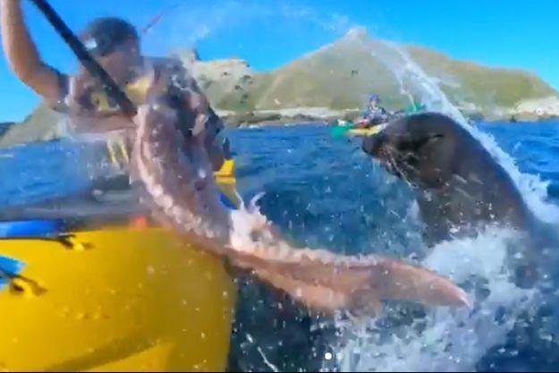 L'otarie giflant le kayakiste avec un poulpe.