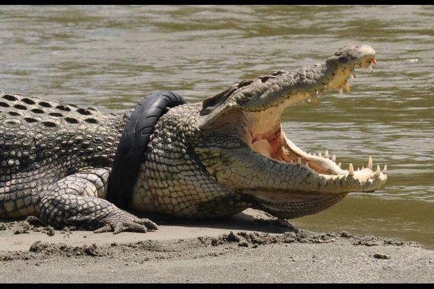 Le crocodile avec un pneu autour du cou.