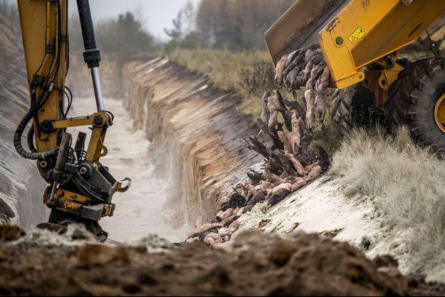 Les visons ont été enterrés dans un terrain militaire au Danemark.