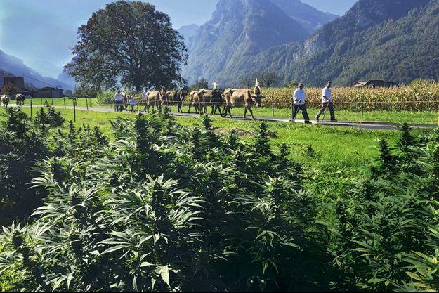 Un troupeau fleuri pour une fête villageoise passe devant une plantation de 2 hectares de cannabis à Nieerumen,dans le canton de Glaris.