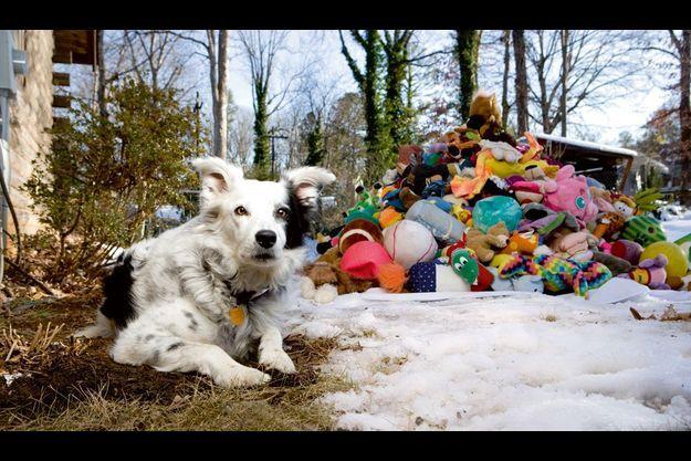 Dans le jardin de John Pilley, à Spartanburg (Caroline du Sud), les oreilles dressées, aux aguets, prête à bondir. Un seul mot et Chaser se rue dans le tas de jouets, à la recherche de l'objet demandé.