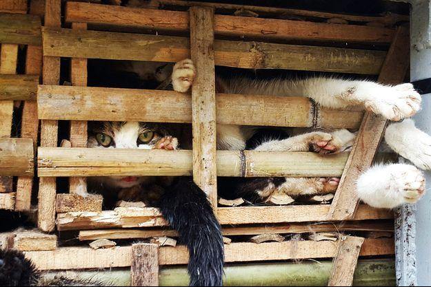 Les chats saisis dans le camion qui les transportait vers les restaurants d'Hanoï.