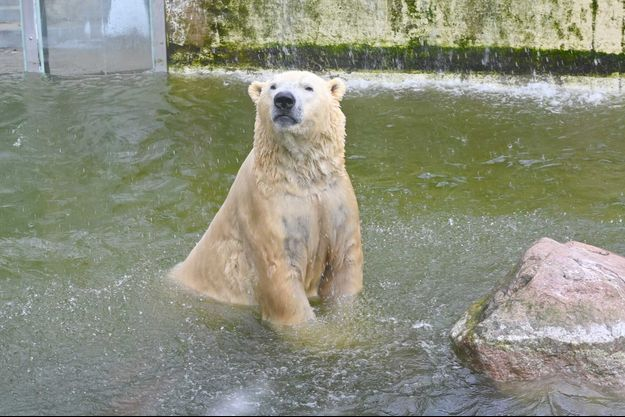 Un ours polaire du zoo de Neumünster.