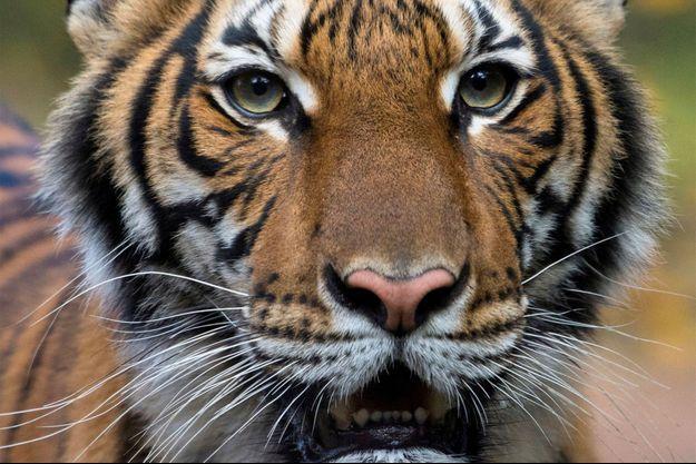 Nadia, le tigre contaminé par le coronavirus.