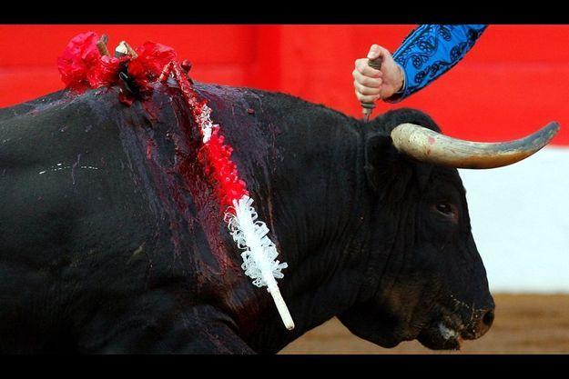 Le toréador se sert d'un poignard pour donner le coup de grâce, destiné à achever le taureau. Ce dernier geste détruit le cervelet et le début de la moelle épinière de l'animal.