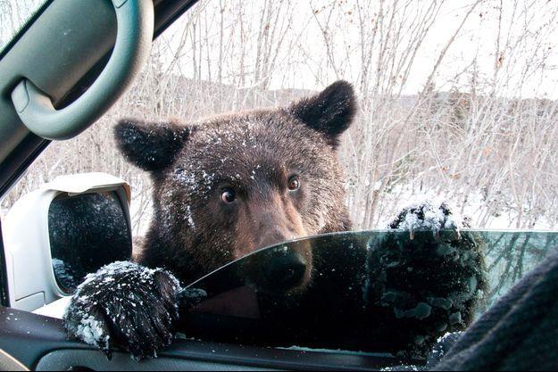 Un ours brun inspecte une voiture à Sakhaline.