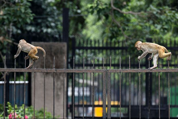 Image d'illustration. Des singes à New Delhi, en juin 2020.