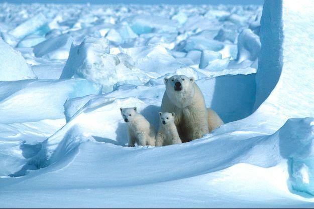 Une famille d'ours polaires en Alaska.