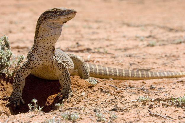 Un varan australien (photo d'illustration).