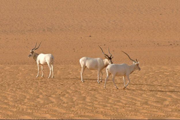 Trois addax photographiés à l'état sauvage au Niger en 2012 à la lisière des provinces reculées d'Agadez et de Diffa, en plein désert du Sahara