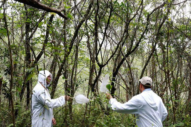 Des agents sanitaires collectent des moustiques potentiellement porteurs du virus de la fièvre jaune.