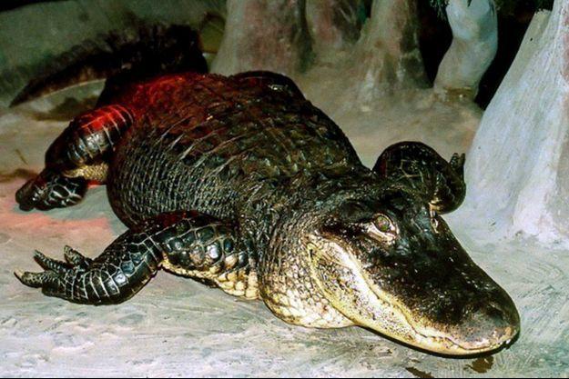 L'alligator Saturne sur un cliché non daté au zoo de Moscou.