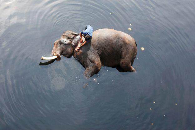 Un éléphant en Inde.