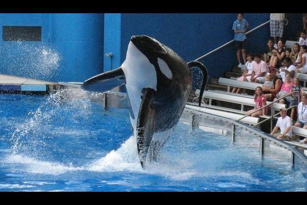 L'orque Tilikum, ici en photo, est un multirécidiviste puisqu'il avait tué deux autres personnes avant l'incident d'hier.