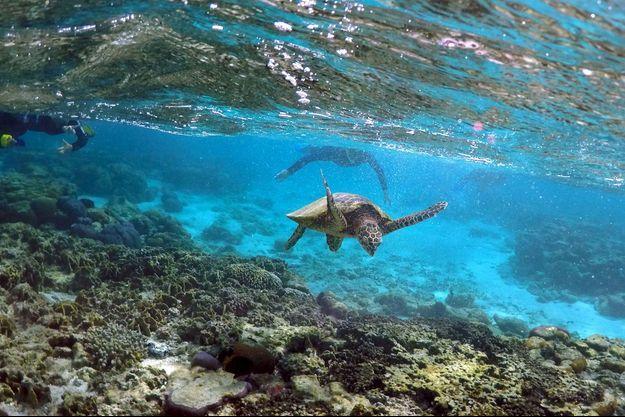 Illustration tortue de mer australienne