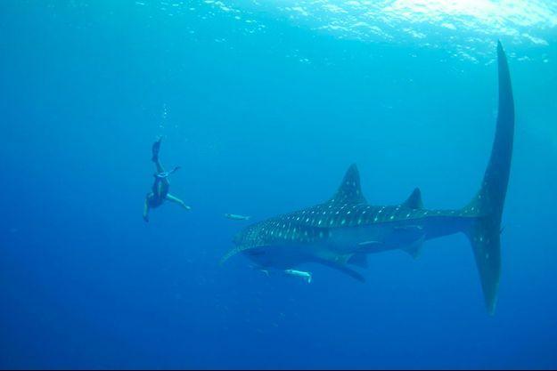 Alexandre Poussin et un requin-baleine