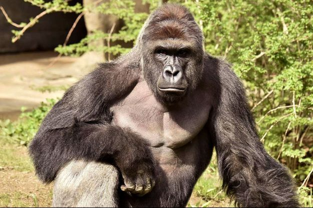 Harambe, le gorille tué au zoo de Cincinnati.