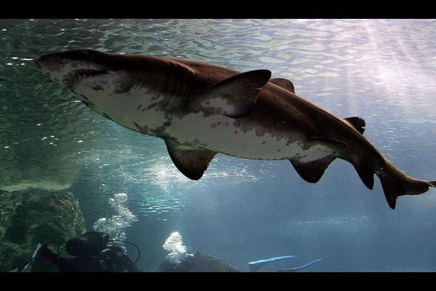 Les requins bouledogues, particulièrement dangereux, peuvent mesurer jusqu'à 3,50 mètres. Ce sont des squales comme celui-ci qui ont tué Mathieu.