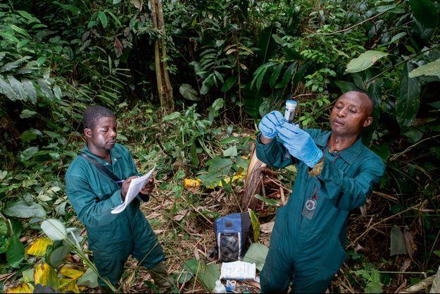 Dans la région de Lobéké, dans un nid de gorilles. Innocent, chef de mission pour l'unité de virologie VIH du Cremer de Yaoundé, collecte des échantillons d'excréments de primate. Avec Joseph, technicien de terrain.