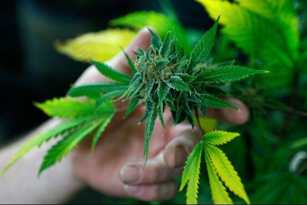Un plant de marijuana commercialisé dans le Colorado, 21 juin 2016.