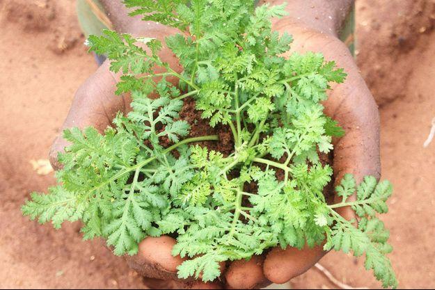 Au Bénin, un plant d'Artemisia annua ( La Maison de l'Artemisia Baningbé).