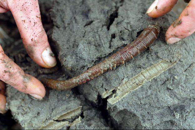 Un ver arénicole collecté sur une plage du Finistère en 2008 par une employée de la société Hemarina.