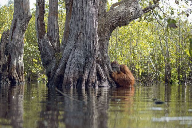 Les singes contribuent à l'équilibre de la forêt, donc à notre santé. Ici un orang-outan protégé dans le parc de Tanjung Puting, en Indonésie.